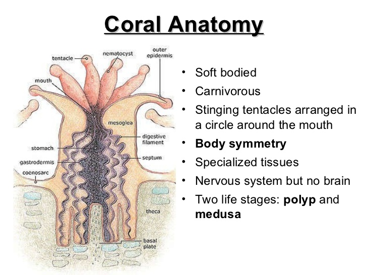 Natural Home Cures Pure Alkaline Water Drops with Bioavailable Coral Calcium Coral Anatomy
